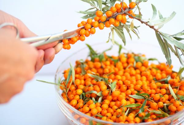 Заготовка ягод облепихи