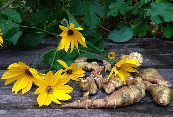 Цветки и корневища топинамбура