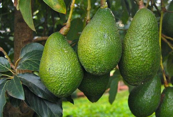Плоды авокадо на дереве