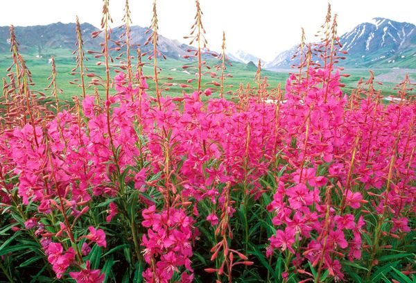 Цветы иван-чая в поле