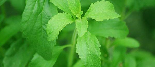 растение стевия