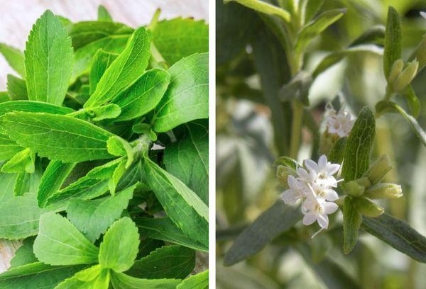 Белые цветки стевии