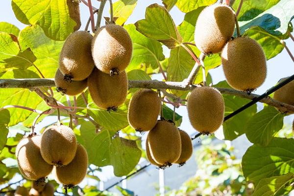 Плоды киви на лиане