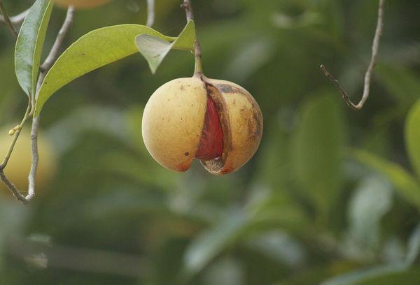 Мускатное дерево