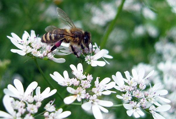 Пчела на цветущем кориандре