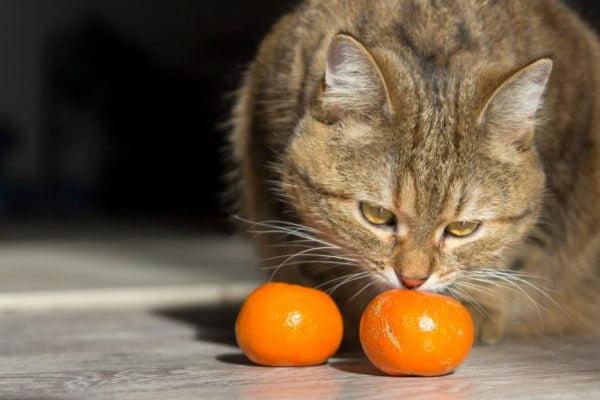 Кот нюхает мандарины