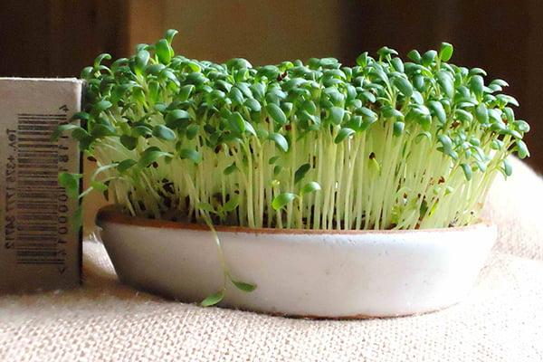 Выращивание кресс-салата