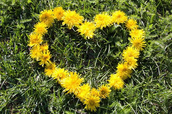 Сердечко из цветков одуванчика