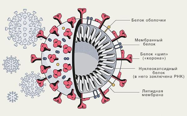 Строение коронавируса