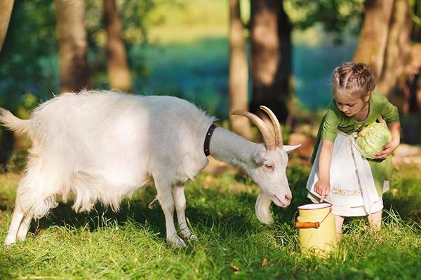 Девочка с козой и козьим молоком